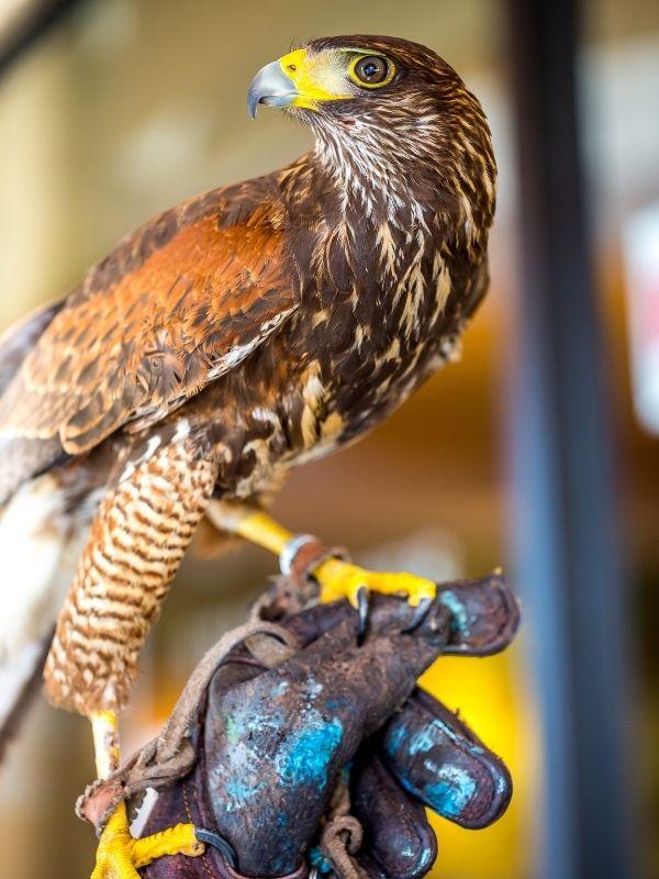 Golden eagle at Sharandys bird of prey near Chard