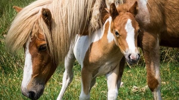 Dartmoor pony and foal in Yelverton
