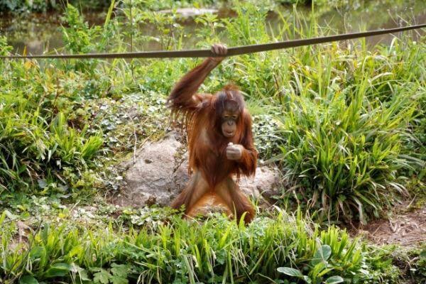 Baby Orangutan at Paignton Zoo