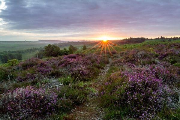 Ringwood moorland with purple heather