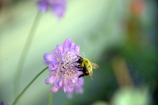 Bee on a flower at Barnsdale gardens in Rutland