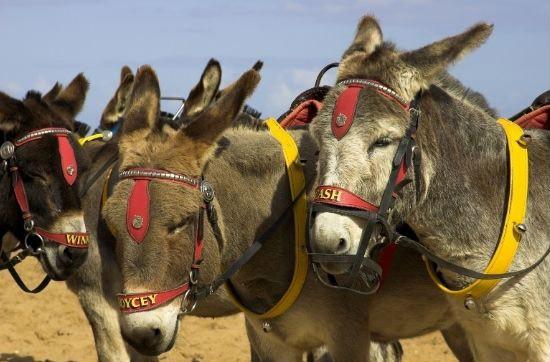Skegness donkeys on the beach
