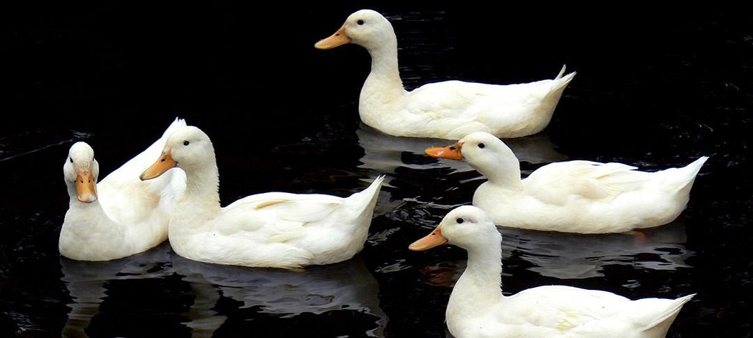 Aylesbury ducks in Buckinghamshire
