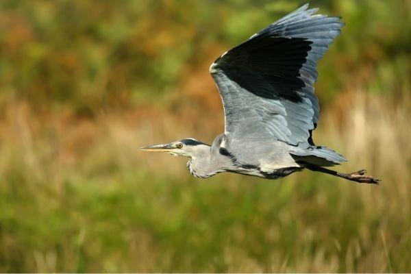Grey Heron flying at Chard Reservoir