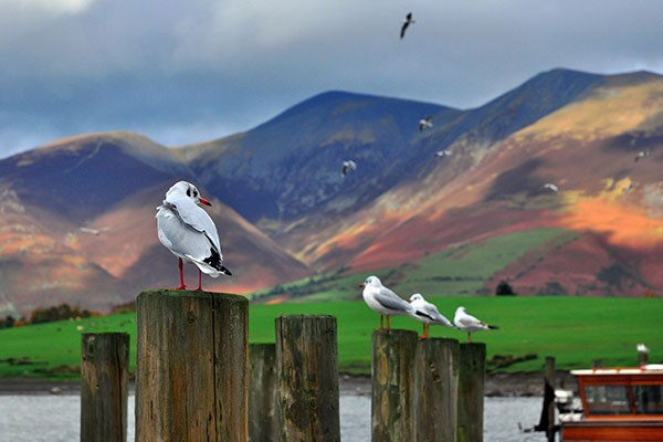 Gulls on the Lake District in Cumbria