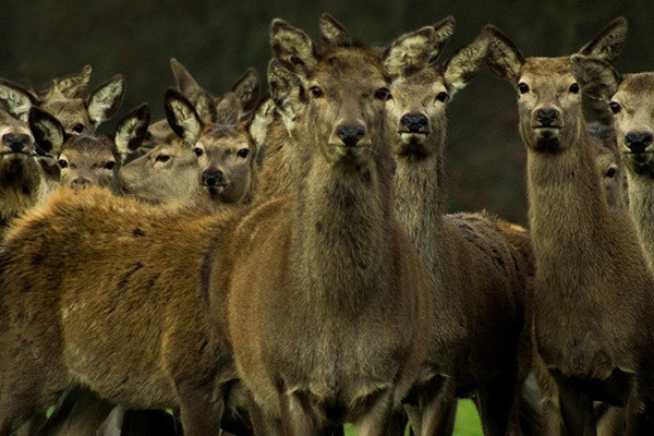 Hertfordshire deer