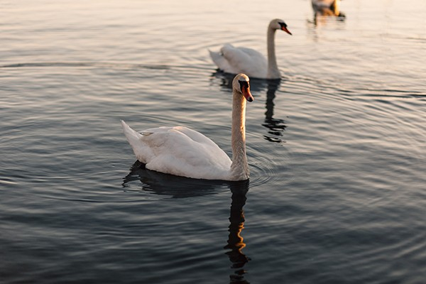 Swans on River Ouse in Huntingdonshire