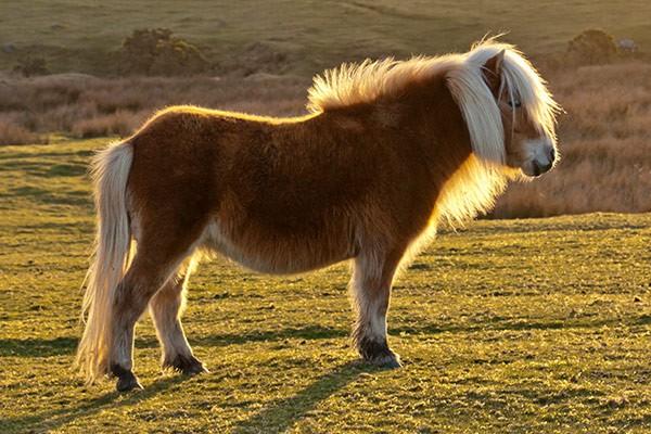 Dartmoor pony near Okehampton