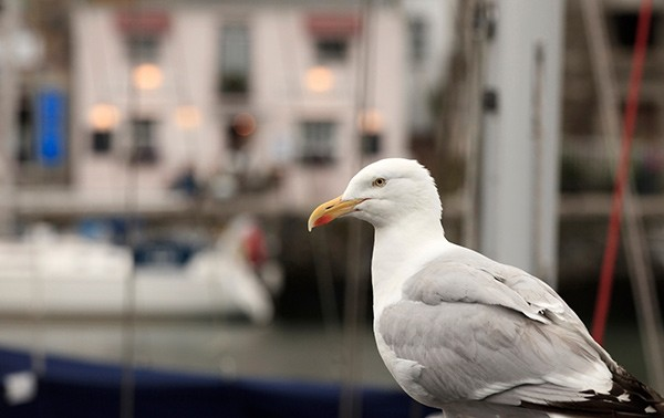 Seagull in Cornish Harbour